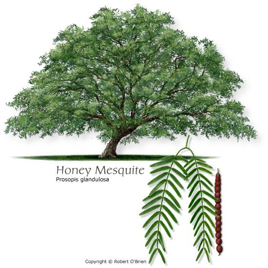 Honey mesquite. Flour from the pods is sweet and rich and helpful for controlling high blood sugar!