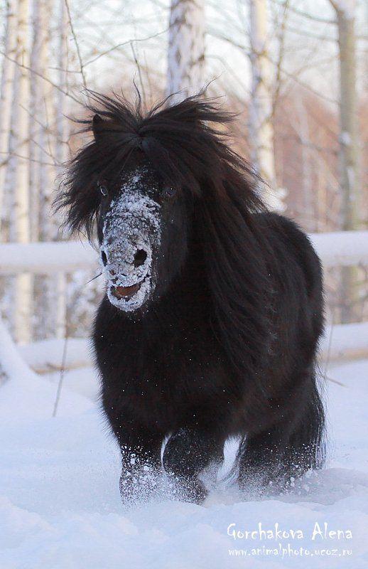 Dartagnan. Shetland pony in the snow.