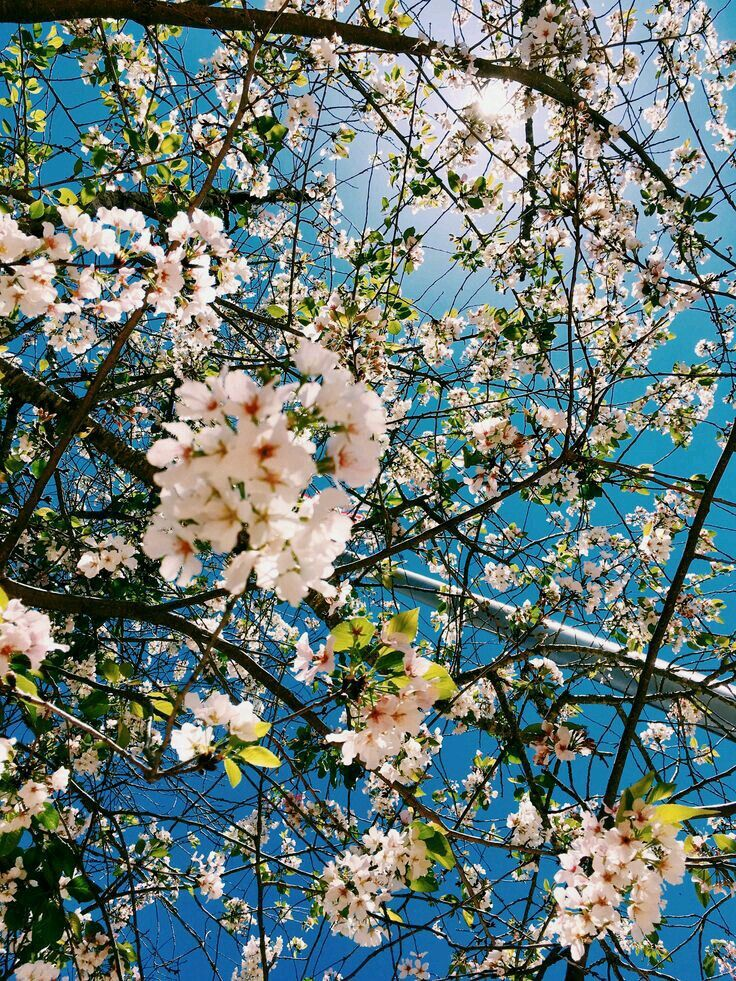 See more ideas about cute wallpapers, iphone wallpaper, wallpaper backgrounds. Pin by Vanessa . on fondos cel   Cherry blossom wallpaper