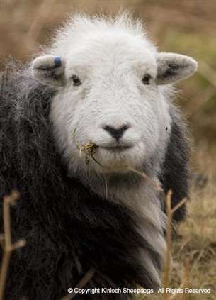 Herdwick Sheep are the native breed of the  Lake District