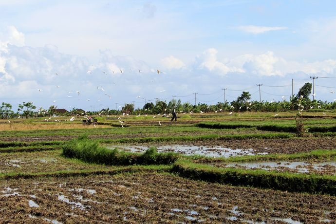 July 2014 - Indonesia - Bali - Canggu - Rice rields with birds
