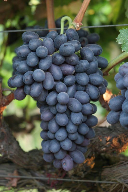 Black Seedless Grapes Autumn Royal- seedless...