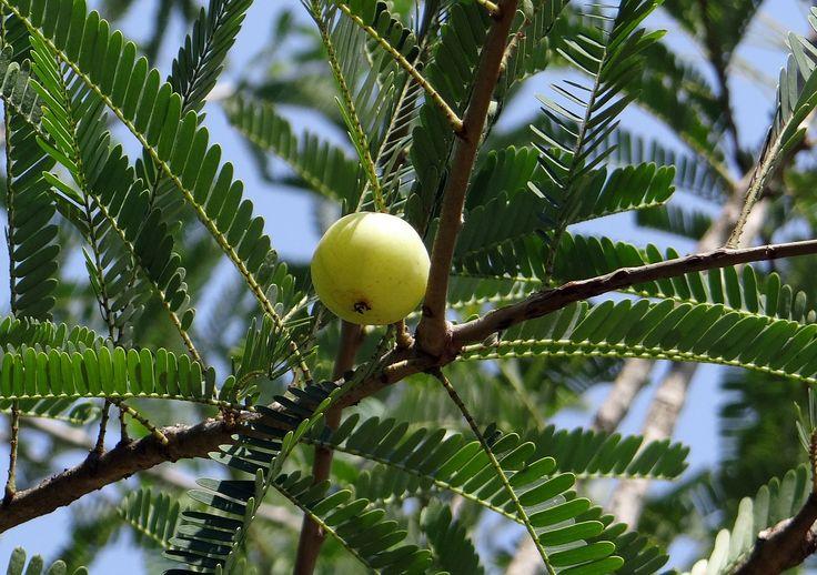 Die indische Stachelbeere ist aus der ayurvedischen Medizin kaum wegzudenken. Wir zeigen dir, welche tollen gesundheitlichen Vorteile die Beere hat.