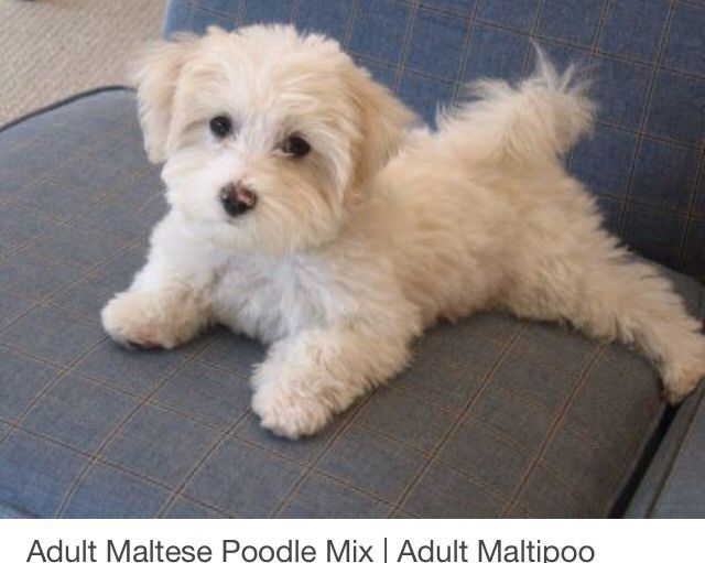 Image Result For Maltipoo Haircuts Before And After Puppies