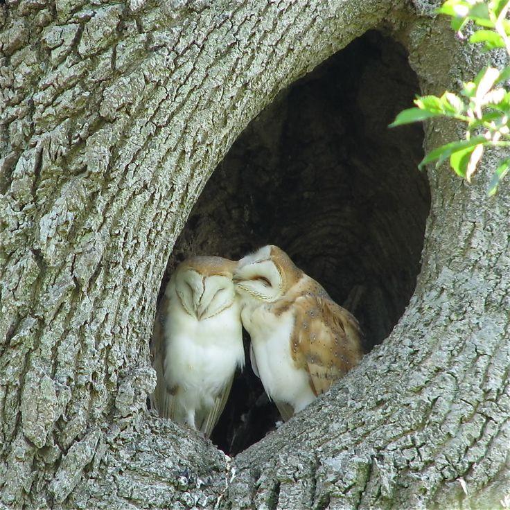 Barn Owl Love: