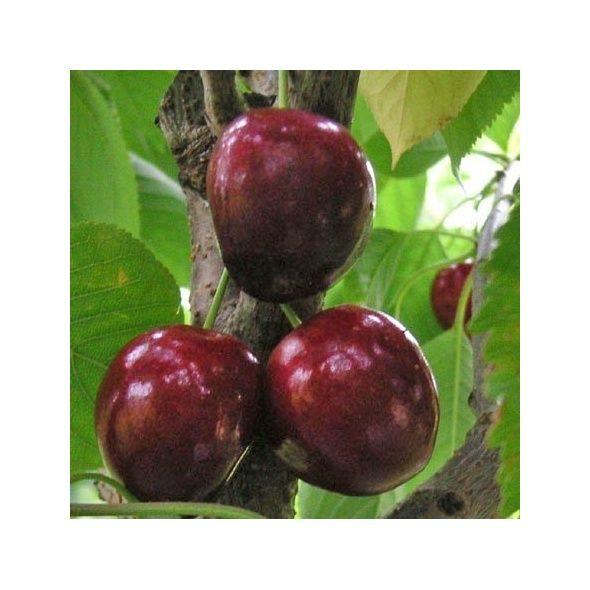 Cerisier  Bigarreau 'Noir de Meched':  taille en demi-tige 12/14