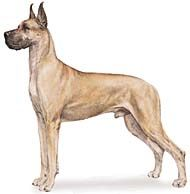 Best Dog Breeds for Me: Great Dane