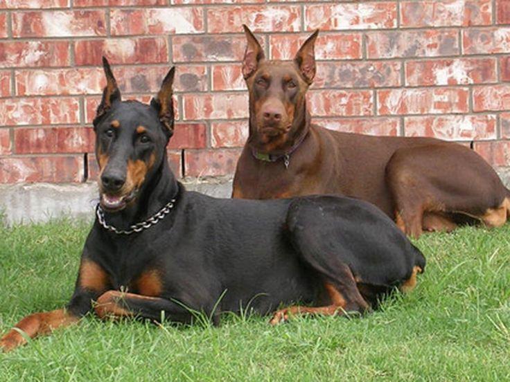 Las 10 razas de perros mas bonitas - Taringa!