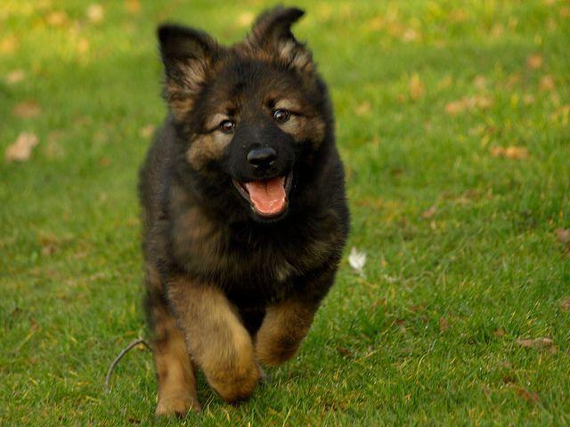 German Shepherd Puppy German Shepherd Puppies
