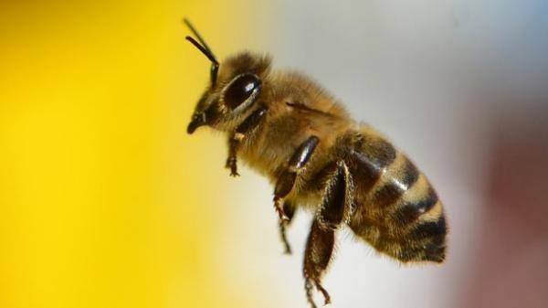 Traiter certaines maladies avec des piqûres d'abeille (arthrose, sclérose en plaques...)