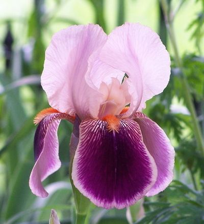 1000 images about fiori on pinterest - Iris germanica ...
