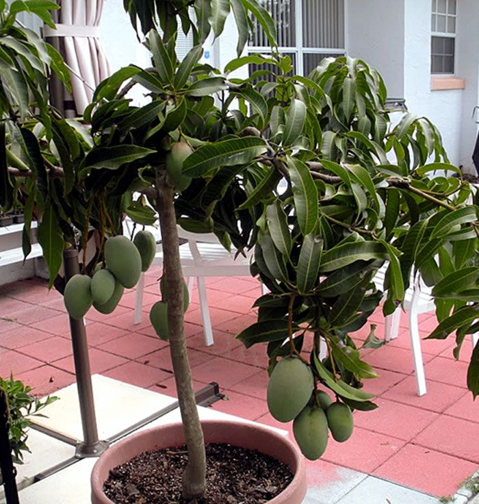Top 10 Fruits To Grow In Containers Top Fruit Plants Fruit Trees Fruit Trees In Containers Fruit Plants Plants