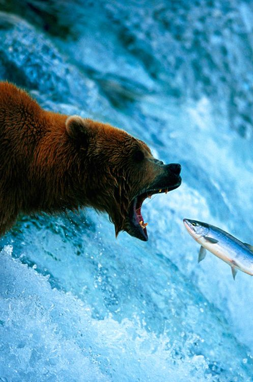 Opening wide, a bear waits for lunch at Brooks Falls. The famous fishing bears here use a variety of fishing techniques to capitalize on the bounty of each summer's salmon run, from running fish down in shallow water to snatching them from the air. Photo by Joel Sartore.