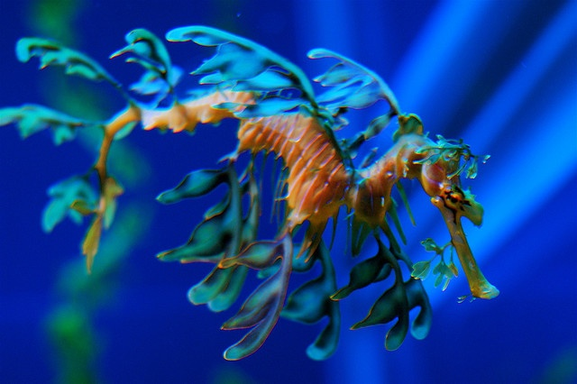 leafy seadragon... super tiny and they live in bushes that look just like them... cool creation!!