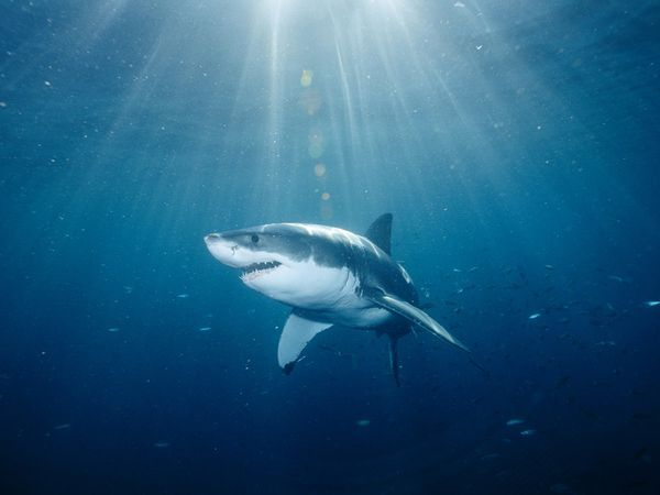 Sharks: Great White Sharks, Pointers Sharks, Beautiful, Australian Animal, White Pointers, Xx Sharks, Favorite Pin, Sharks Xx, Whales Sharks Dolphins Fish
