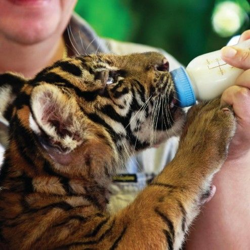 Koh Samui Aquarium & Tiger Zoo.  Feed a baby tiger or have a picture taken with a full grown Bengal tiger!