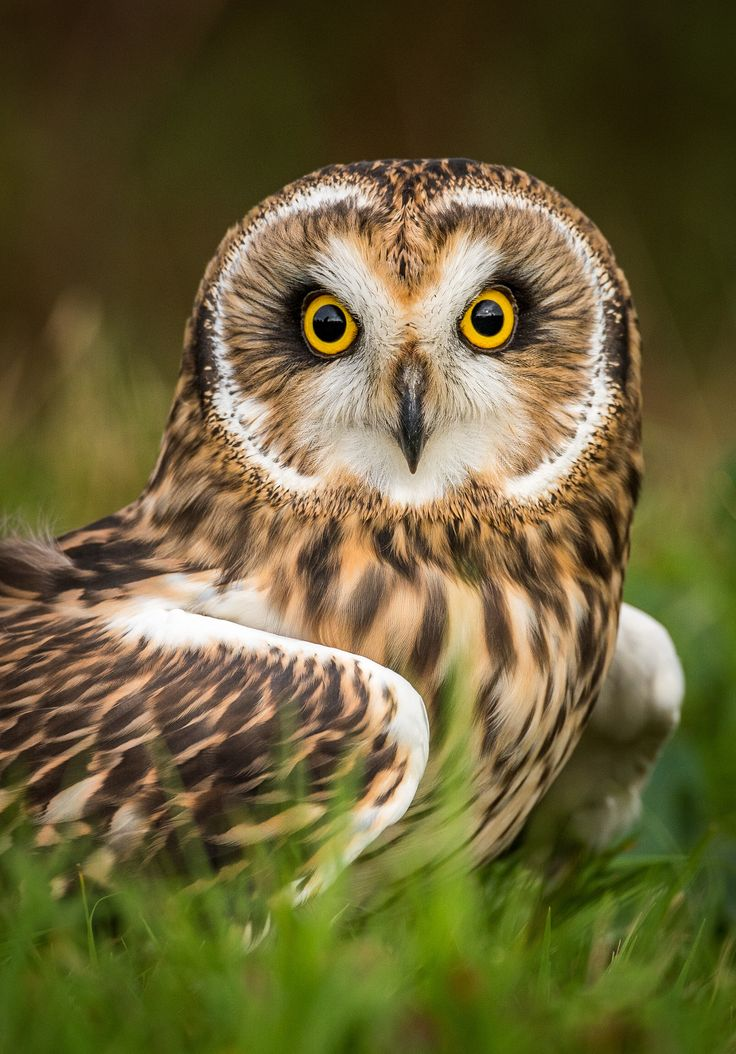 Short Eared Owl by Paul Hancock