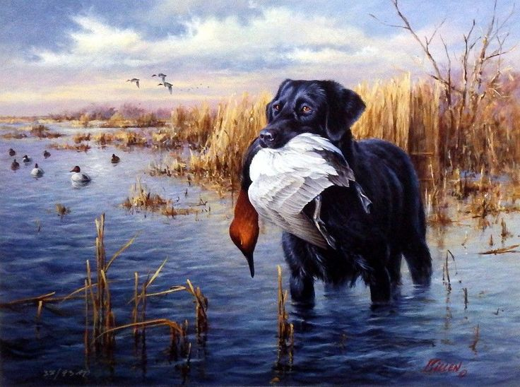 """DOGS IN ACTION is another great hunting dog print from James Killen. This black Labrador has retrieved a canvasback duck. """"Using all his senses, the black lab has successfully followed his master's co"""