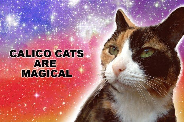 Calico Cats are Magical.   21 Reasons Why Calico Cats Are The Best Cats