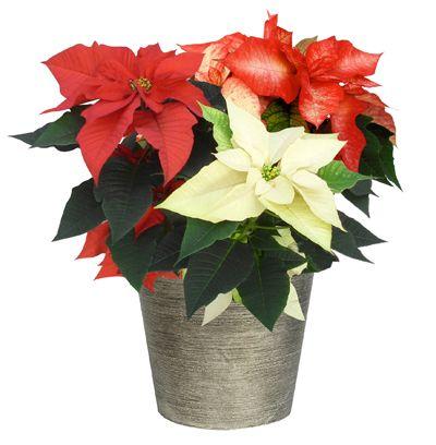 39 Tis The Season Poinsettia Care Instructions Holiday