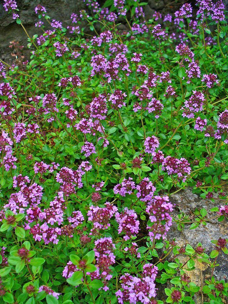 Nõmm- liivatee, Thymus serhpyllum