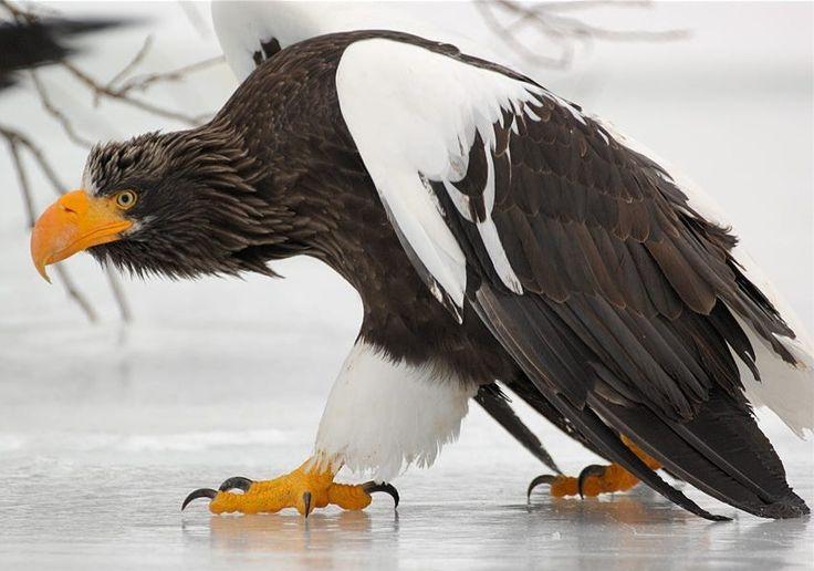 "beautiful-wildlife: "" On thin ice by © Igor Shpilenok Steller's Sea Eagle walking on thin ice of the Kurile Lake in South Kamchatka Sanctuary. """