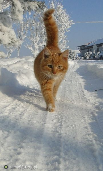 ginger kitty in the snow