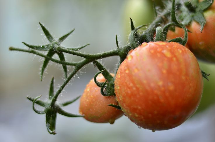 Home grown tomatoes, sweet and warm