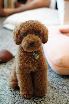 Awww, I can't even stand how cute this curly pup is!