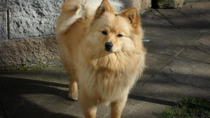 how to train a german spitz