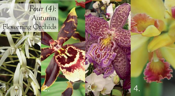 The perfect flowers for Mother's Day.......Four (4) Autumn Flowering Orchids #oncidium #cattleya #dendrobium #phalaenopsis    http://www.aboutthegarden.com.au/index.php/four-autumn-orchid-flowers/
