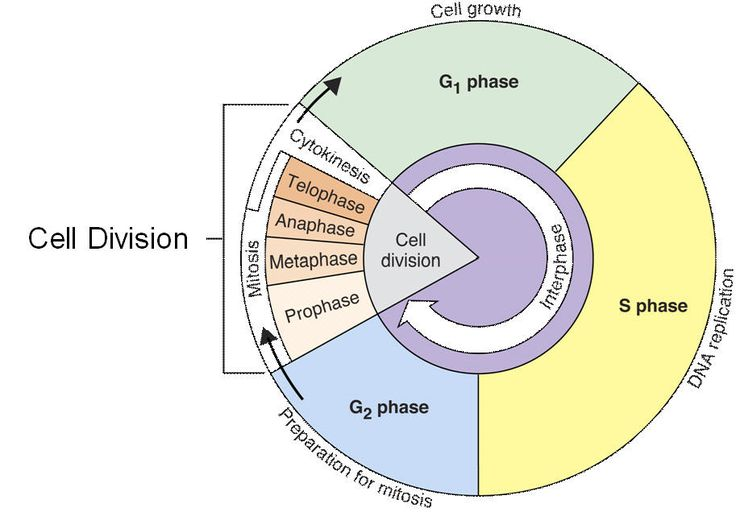 Cell Cycle Interphase  Lessons  TES Teach   cells   Cell