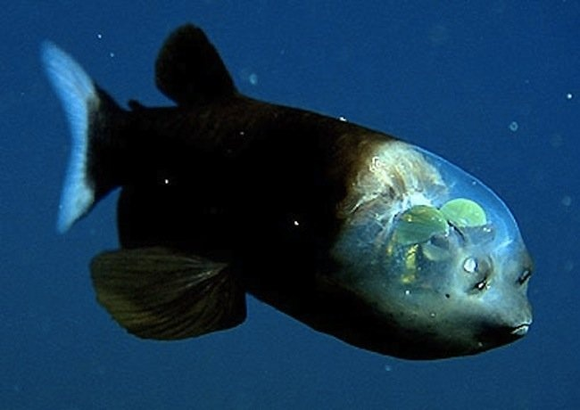 Cool fish in Monterey bay! The eyes are inside the clear dome :)