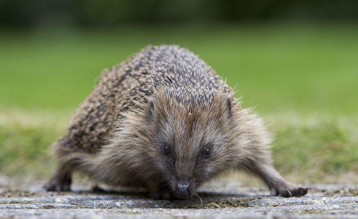 719 best images about animals hedgehog egel on pinterest african hedgehog albino hedgehog. Black Bedroom Furniture Sets. Home Design Ideas