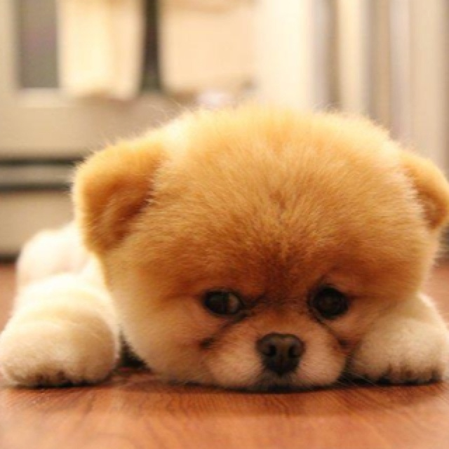 Pomerian puppy - My favorite little dog!