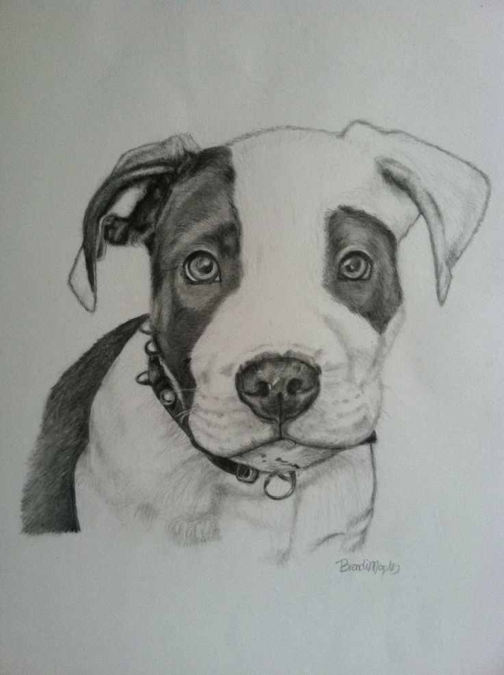 Pit Bull puppy, graphite pencil | My drawings & sketches ...