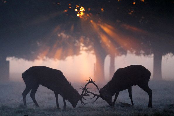 The Autumn Deer Rut in Richmond Park. Photography by Dan Kitwood
