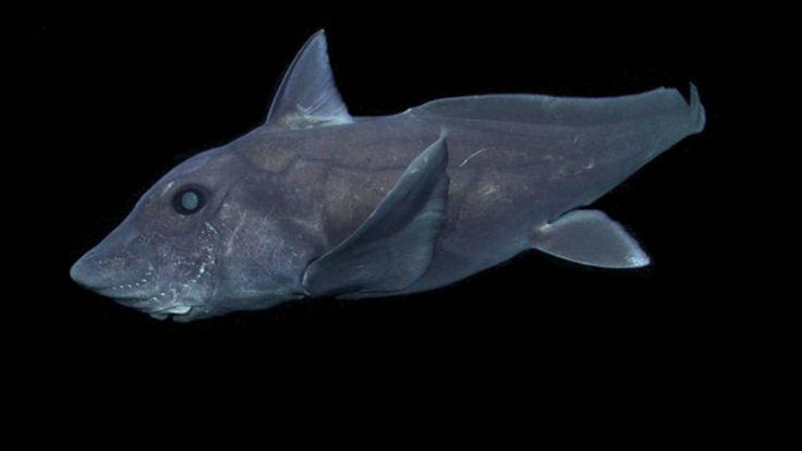 Este espécimen habita los océanos desde hace más de 300 millones de años y posee un pene retráctil en la frente.