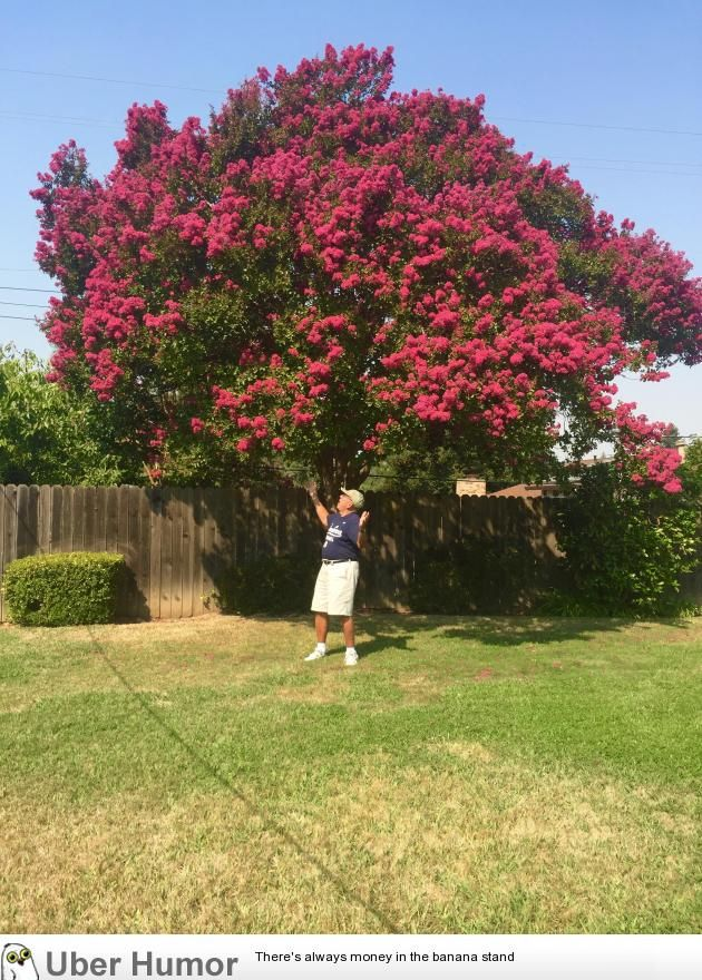 My grandpa says we need to get the word out about how beautiful his Crepe Myrtle is.