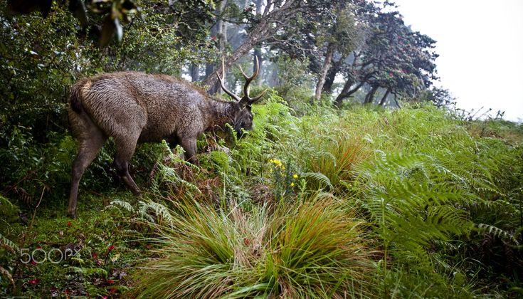 Horton Plains by K S Chew on 500px || Sambar deer