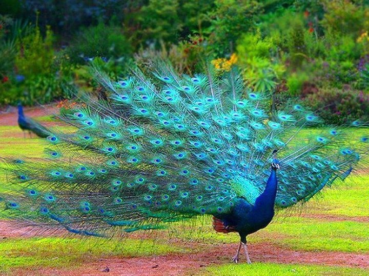 another great peacock pic