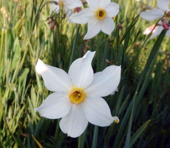 #Fiore #Narciso di Rocca di Mezzo #Abruzzo