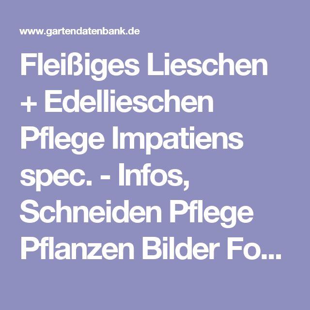 Fleißiges Lieschen + Edellieschen Pflege Impatiens spec. - Infos, Schneiden Pflege Pflanzen Bilder Fotos Garten