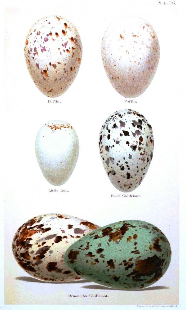 Animal - Bird - Eggs and nests - British Birds -   My egg monograph print! I can't believe I found it online