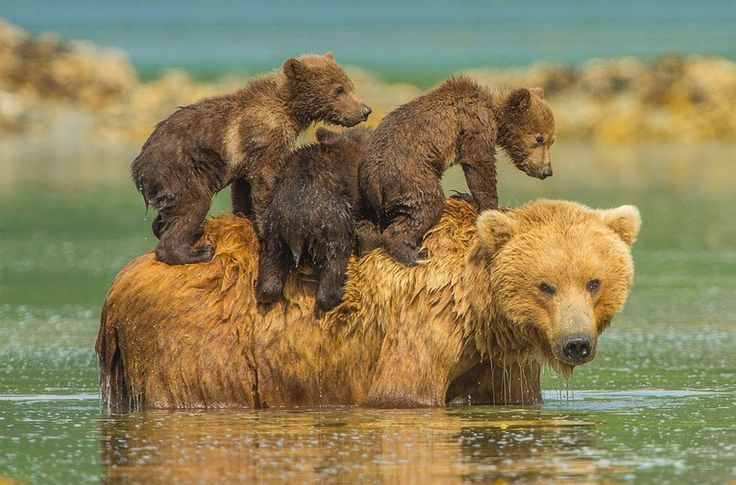 bear cubs on their mother back photo