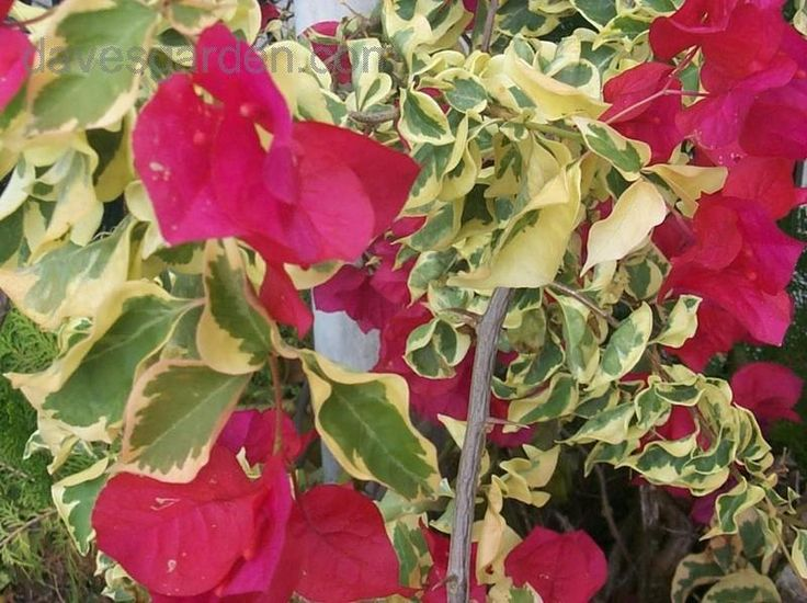 "Bougainvillea 'Raspberry Ice' (Bougainvillea brasiliensis)  ""This bougainvillea, ""Raspberry Ice"", is content in a container and requires little effort."" Read more: http://davesgarden.com/guides/pf/showimage/59496/#ixzz2f87eiRfw"