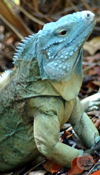 The Blue Iguana Is Endemic To Grand Cayman It Related Rock