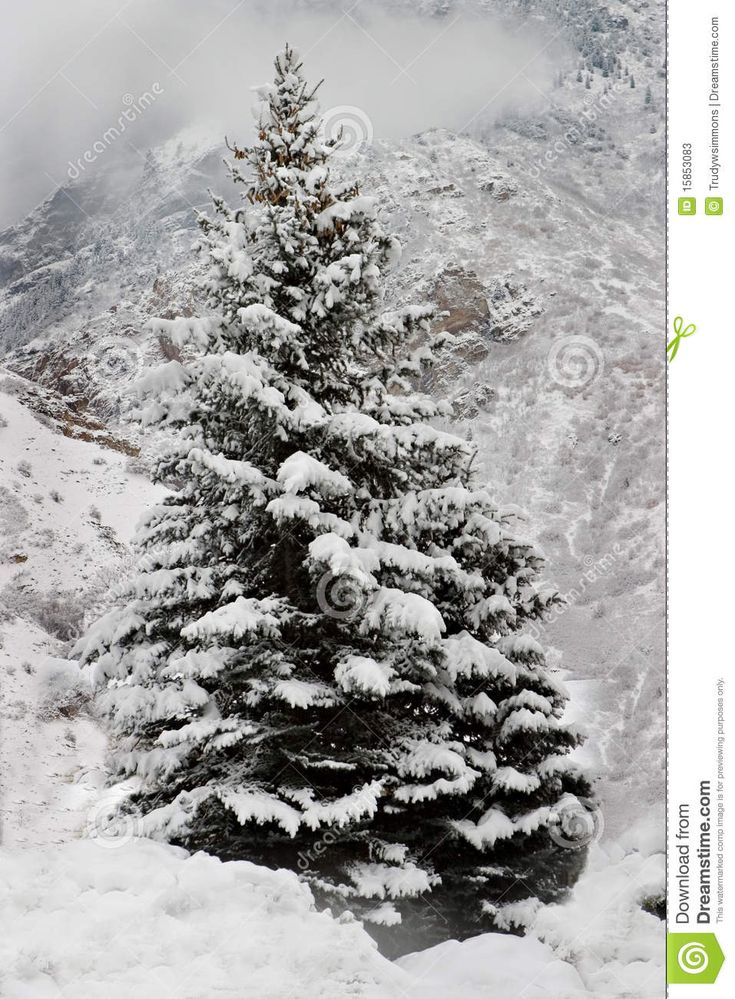 A snow covered pine tree in the mountains stock photos - Images of pine trees in snow ...