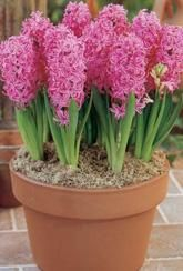 Hyacinth Pink Pearl-Indoor Bulb