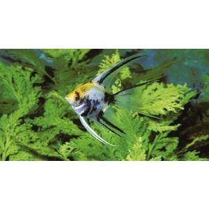 Pterophyllum Scalaire A Tete Jaune L6-8 Cm